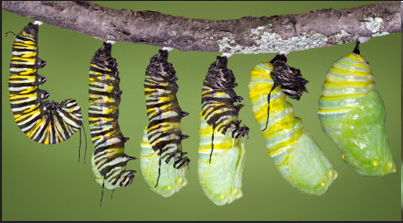A caterpillar builds its chrysalis.